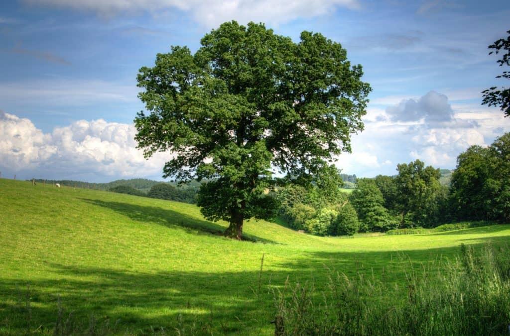 Eine Eiche auf einer grünen Wiese